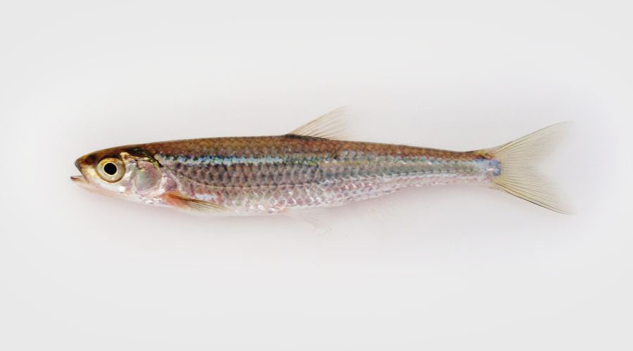 Silver Shiner (Notropis photogenis)